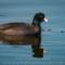 American Coot at the Arcata Marsh, 2014 January thumbnail