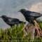 American Crow at Trinidad thumbnail