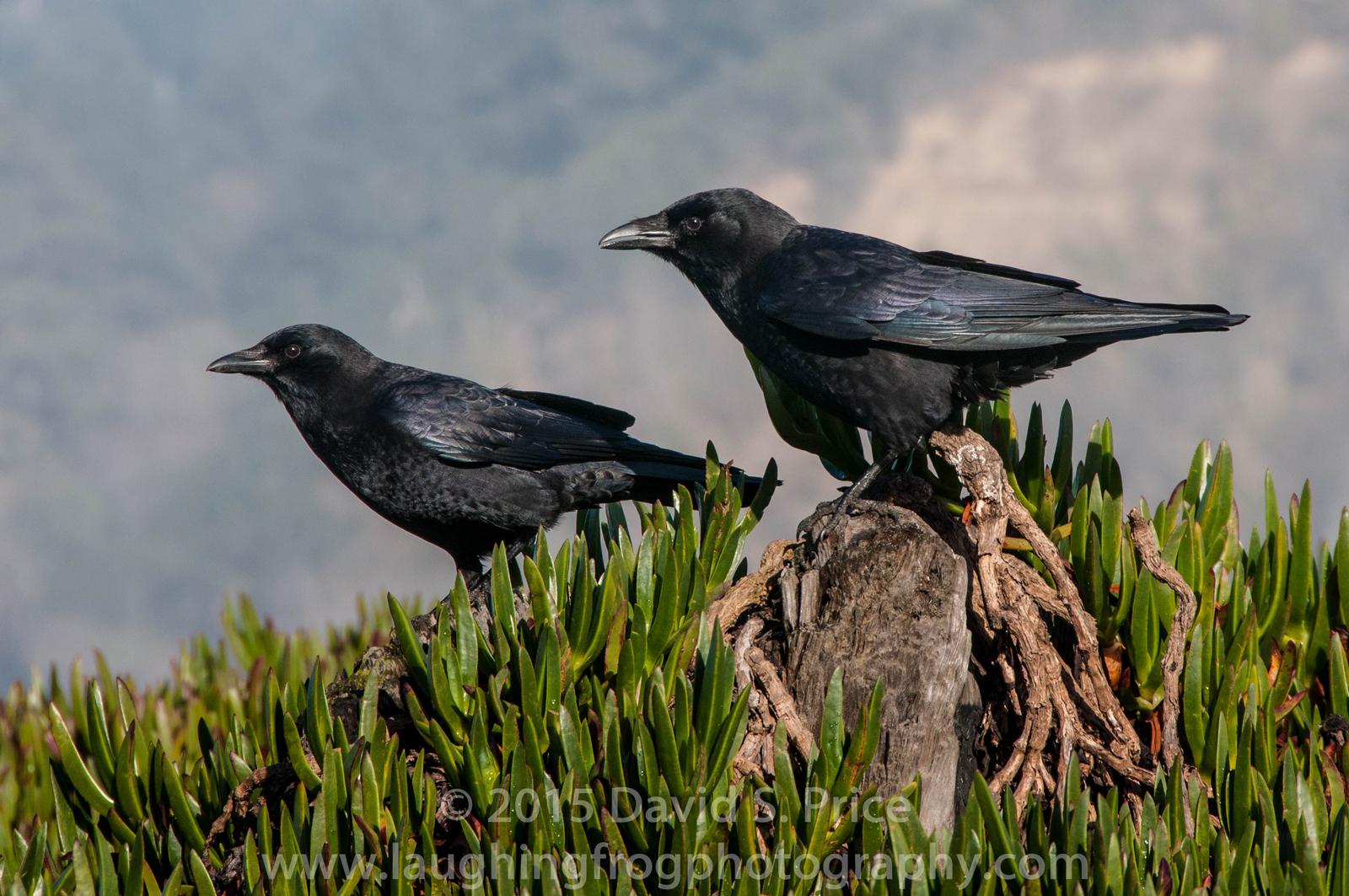 American Crow at Trinidad
