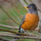 American Robin, HBWR, 2015 January thumbnail