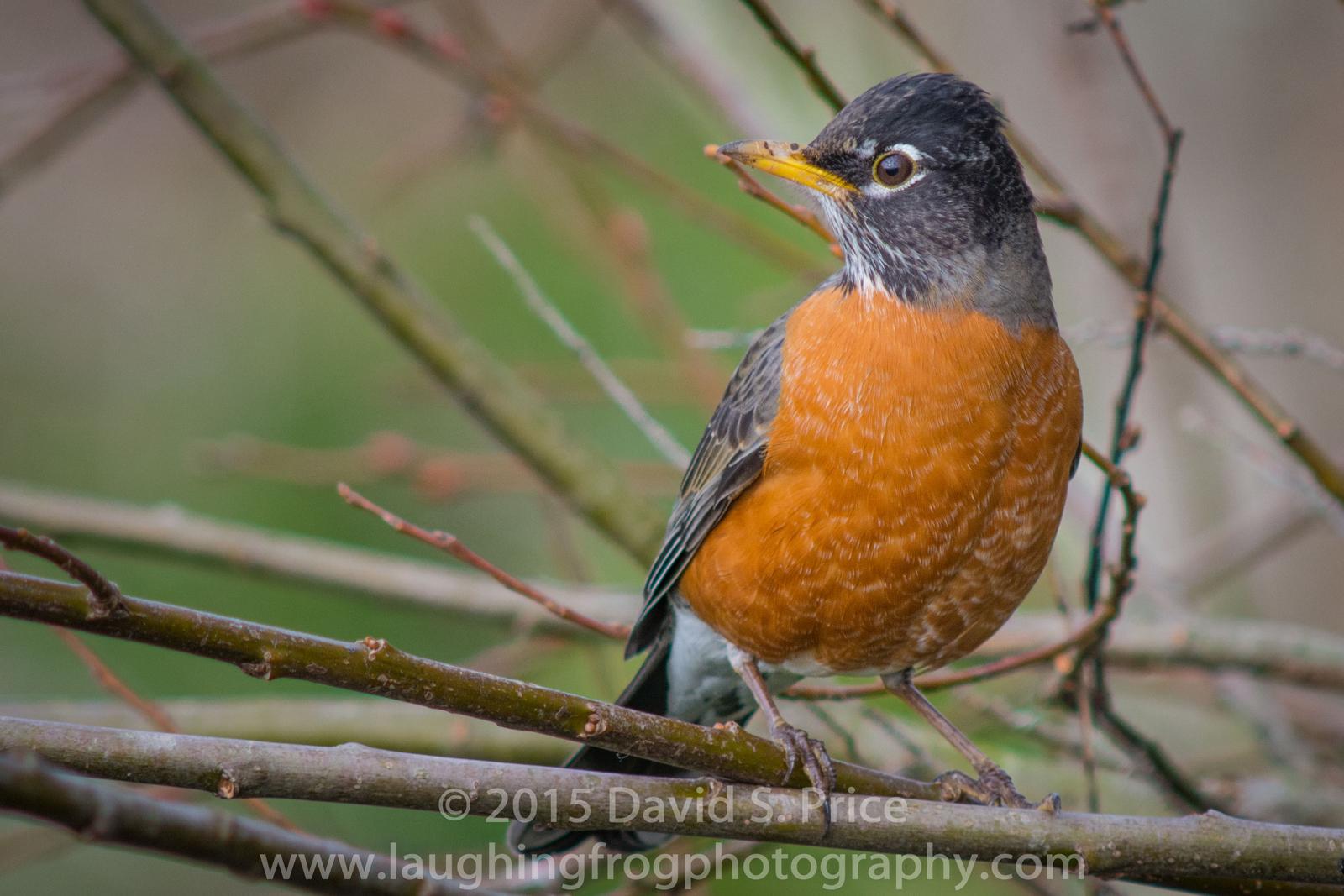 American Robin, HBWR, 2015 January