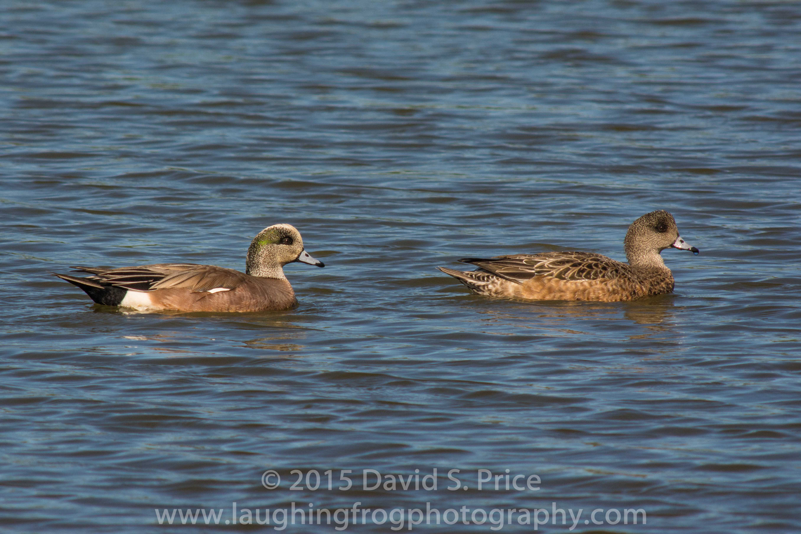 American Wigeon,  at the Arcata Marsh, 2015 March