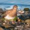 Black Turnstone, Humboldt Bay, 2014 January thumbnail