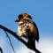 Black-headed Grosbeak thumbnail