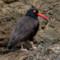 Black Oystercatcher thumbnail