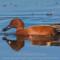 Cinnamon Teal at the Arcata Marsh, 2015 March thumbnail
