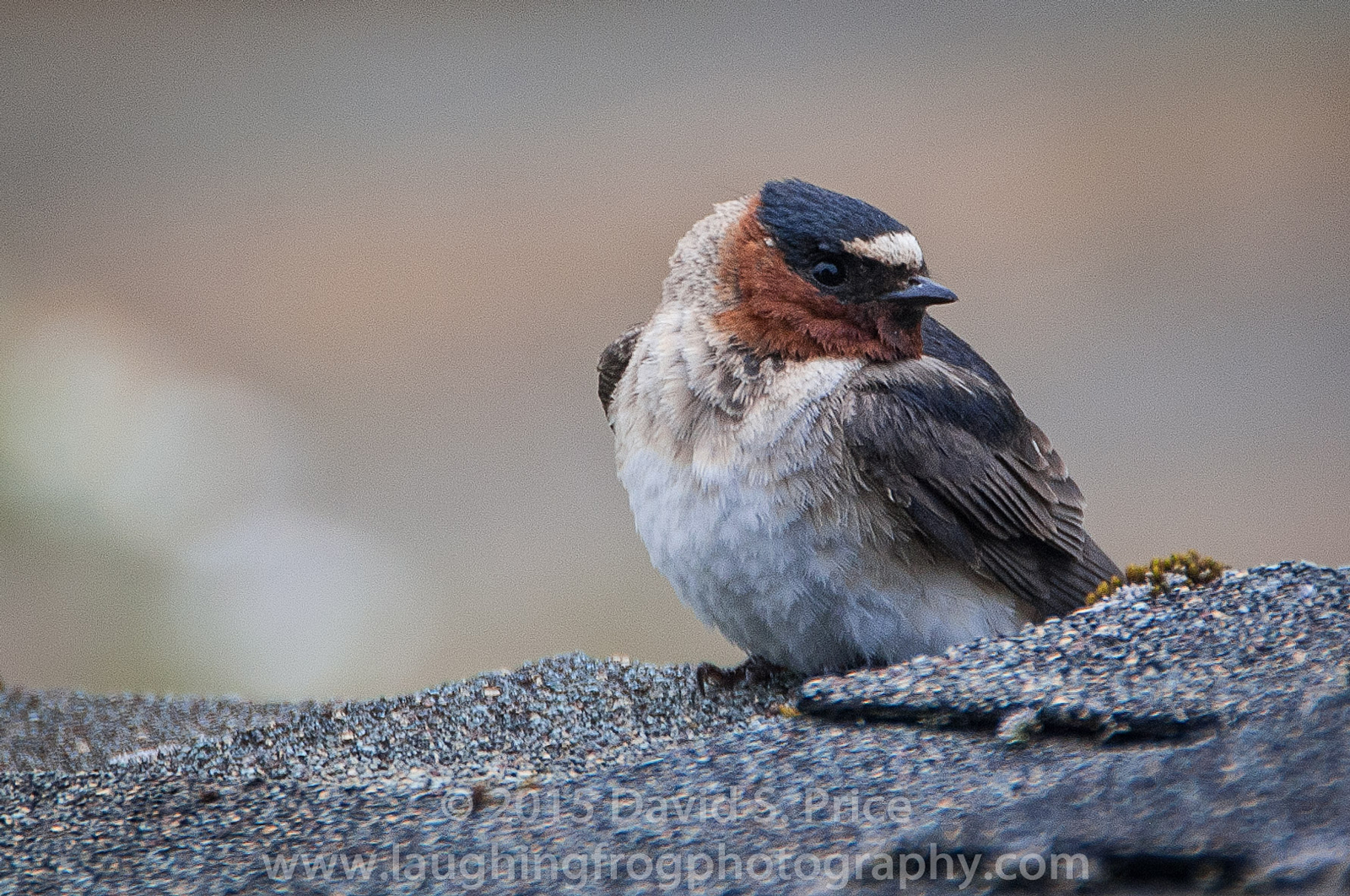 Cliff Swallow,  Lanphere, 2013 June