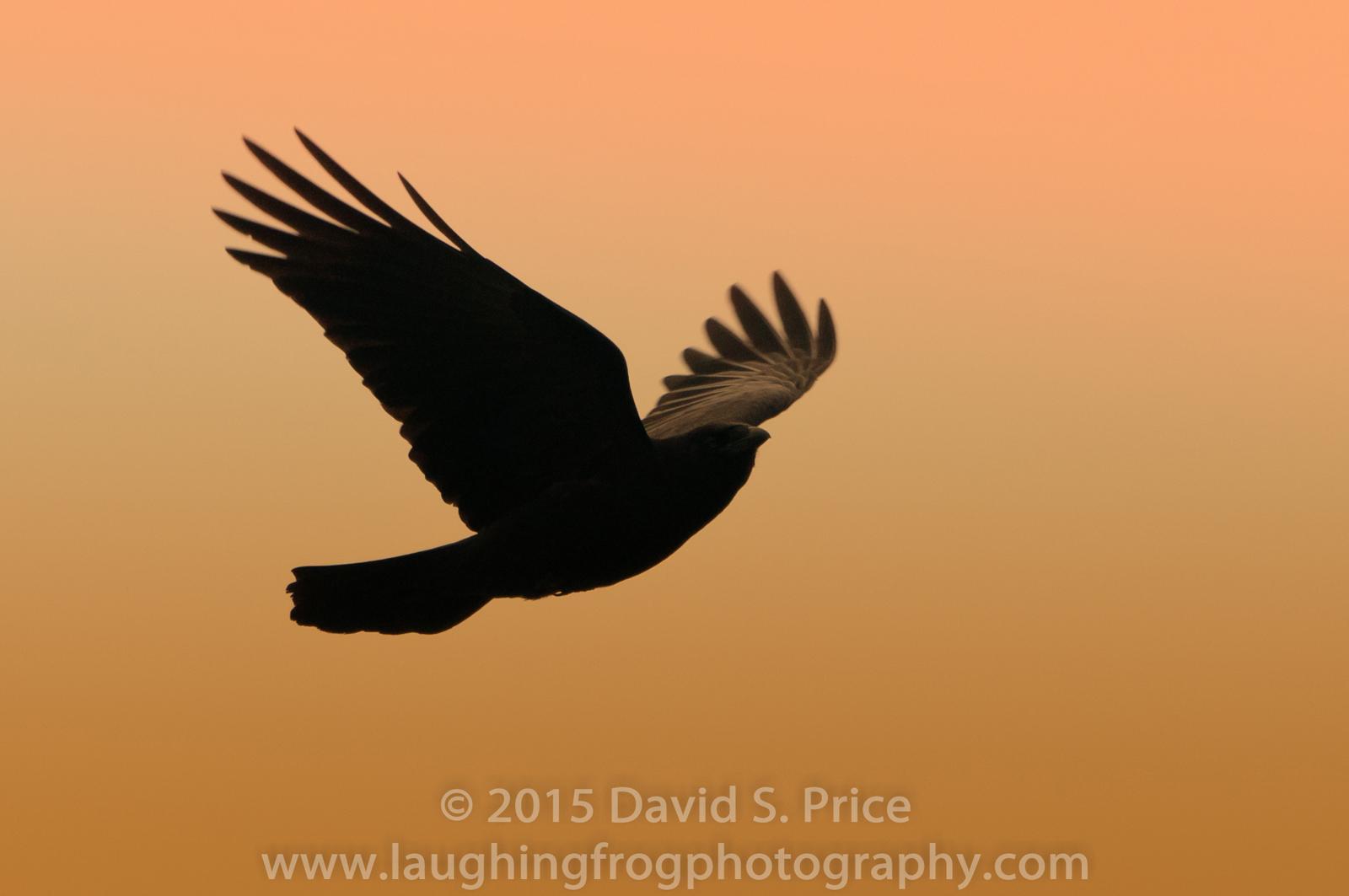 Common Raven at Patricks Point,  2012 April