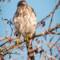 Cooper's Hawk at the Arcata Marsh, 2014 January thumbnail