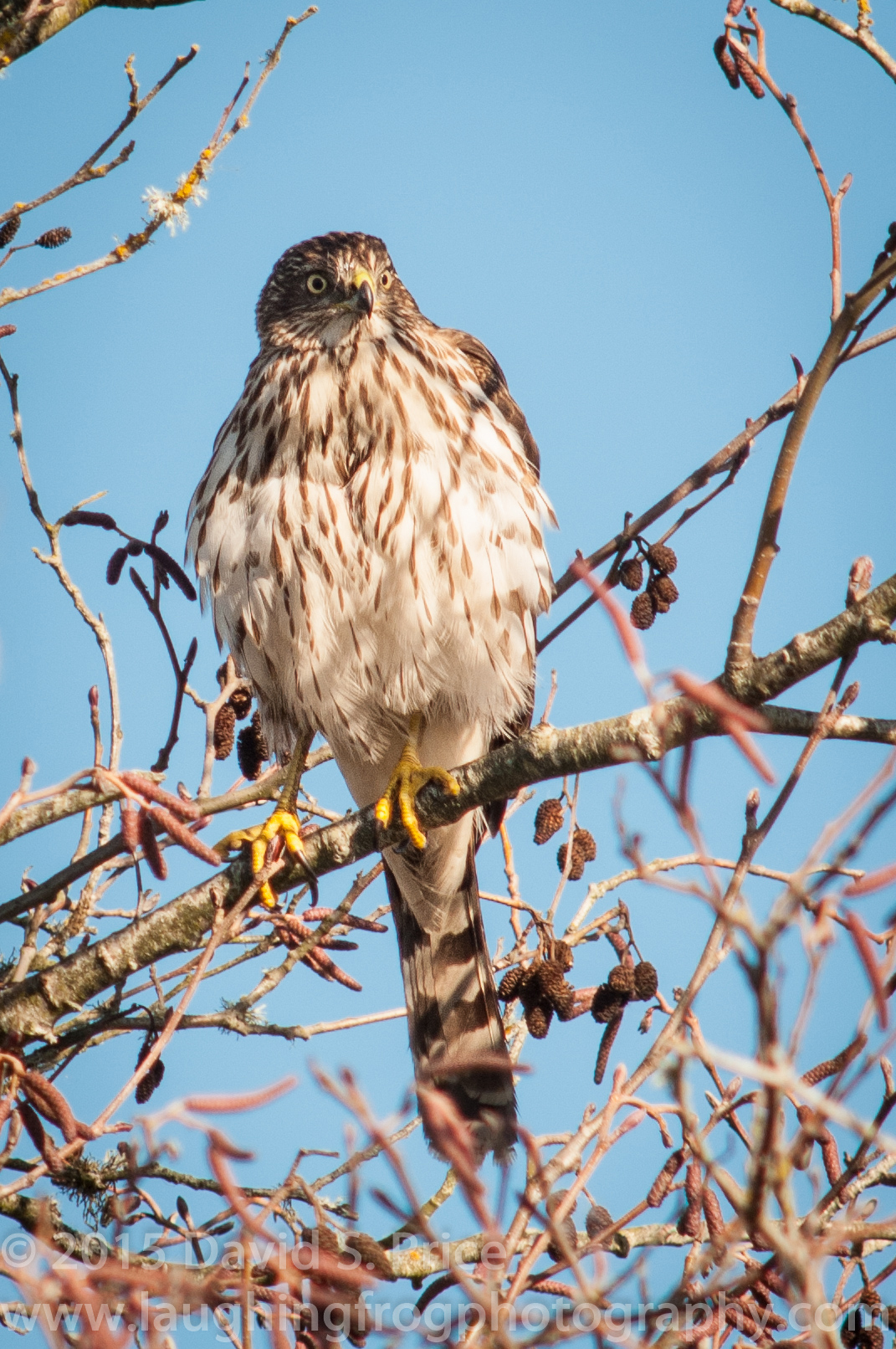 Cooper's Hawk at the Arcata Marsh, 2014 January