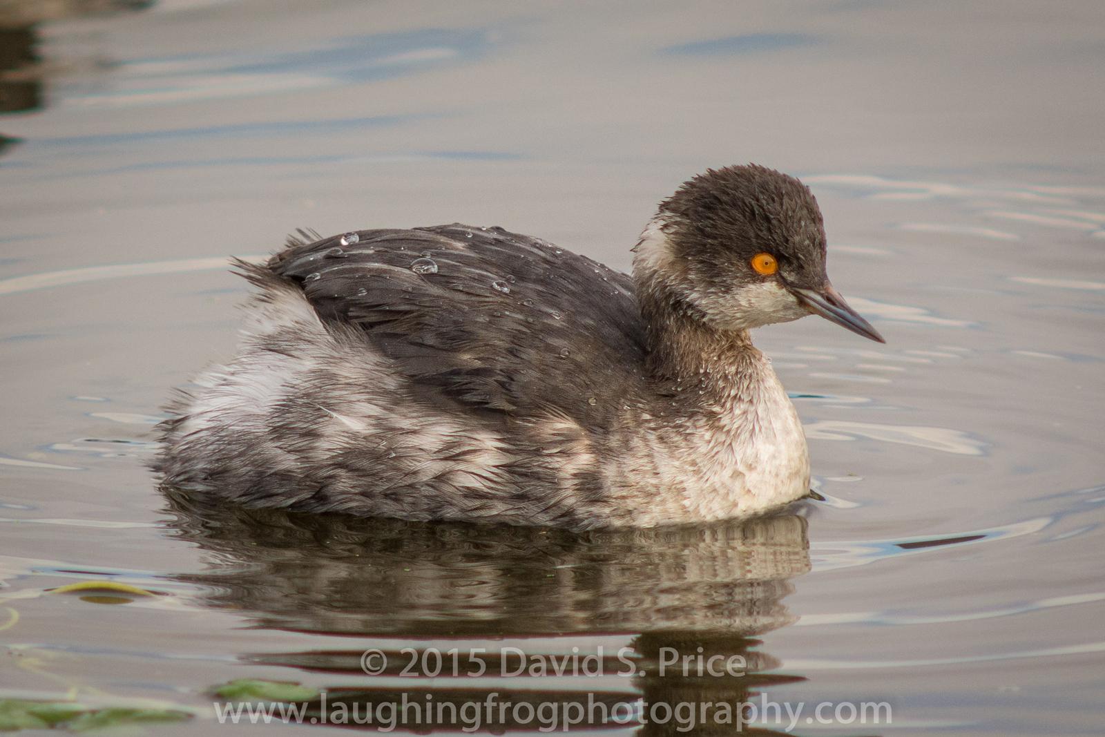 Eared Grebe, Black-necked Grebe, Arcata Marsh, 2014 December