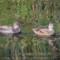 Gadwall, Arcata Marsh, 2014 October thumbnail