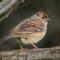 Golden-crowned Sparrow, , Arcata Marsh, 2014 December thumbnail
