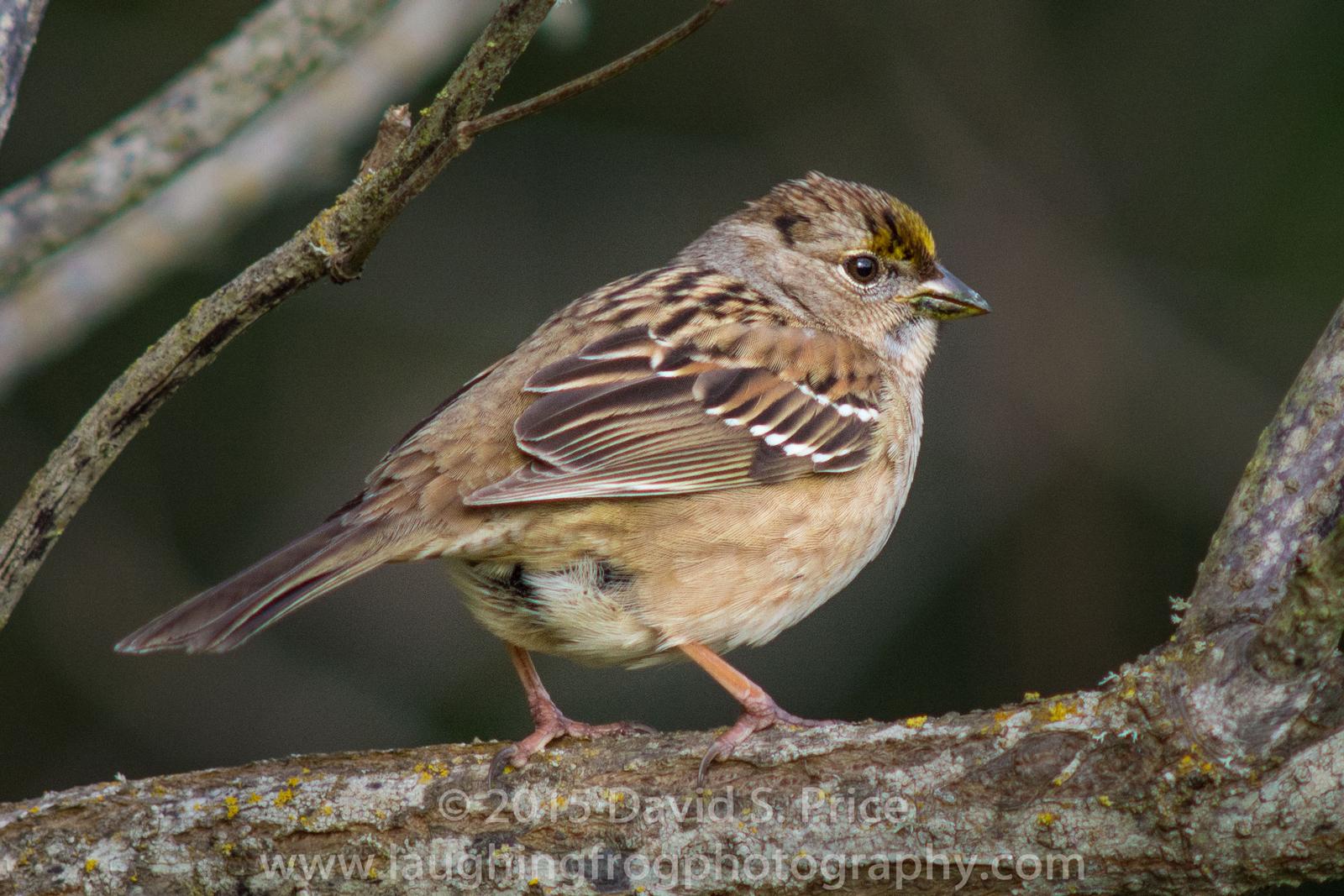 Golden-crowned Sparrow, , Arcata Marsh, 2014 December