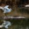 Great Egret,  Arcata Marsh 2011, December thumbnail
