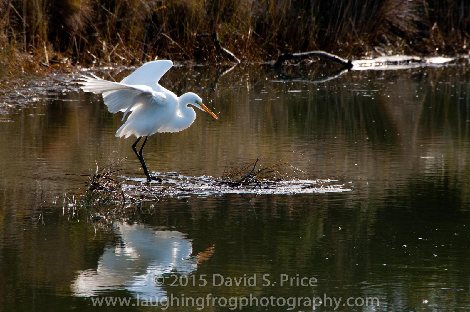 Great Egret,  Arcata Marsh 2011, December