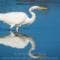 Great Egret, Arcata Marsh, 2015 March thumbnail