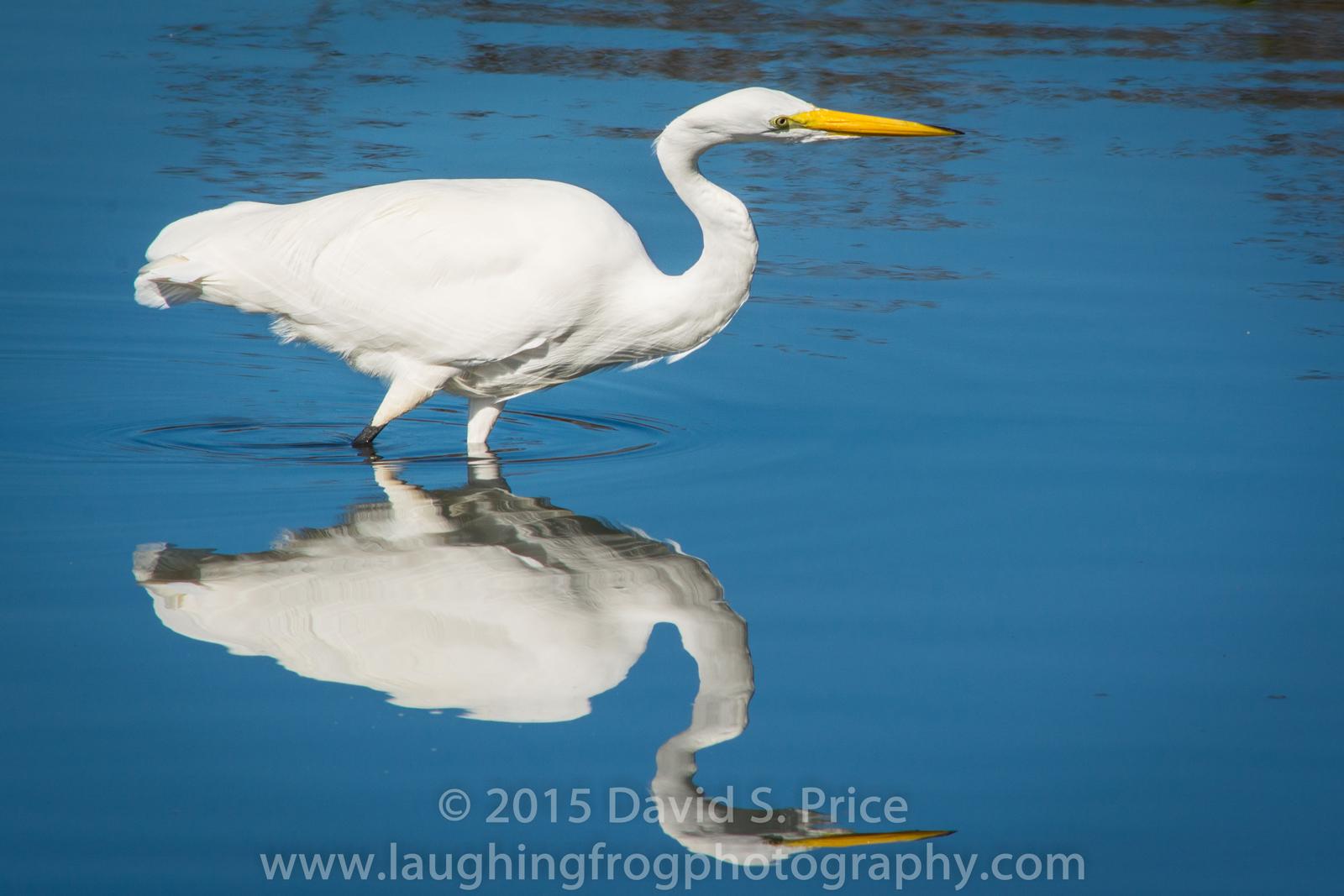 Great Egret, Arcata Marsh, 2015 March