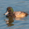 Greater Scaup, Arcata Marsh, 2014 January thumbnail