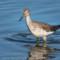 Greater Yellowlegs, Arcata Marsh, 2015 March thumbnail