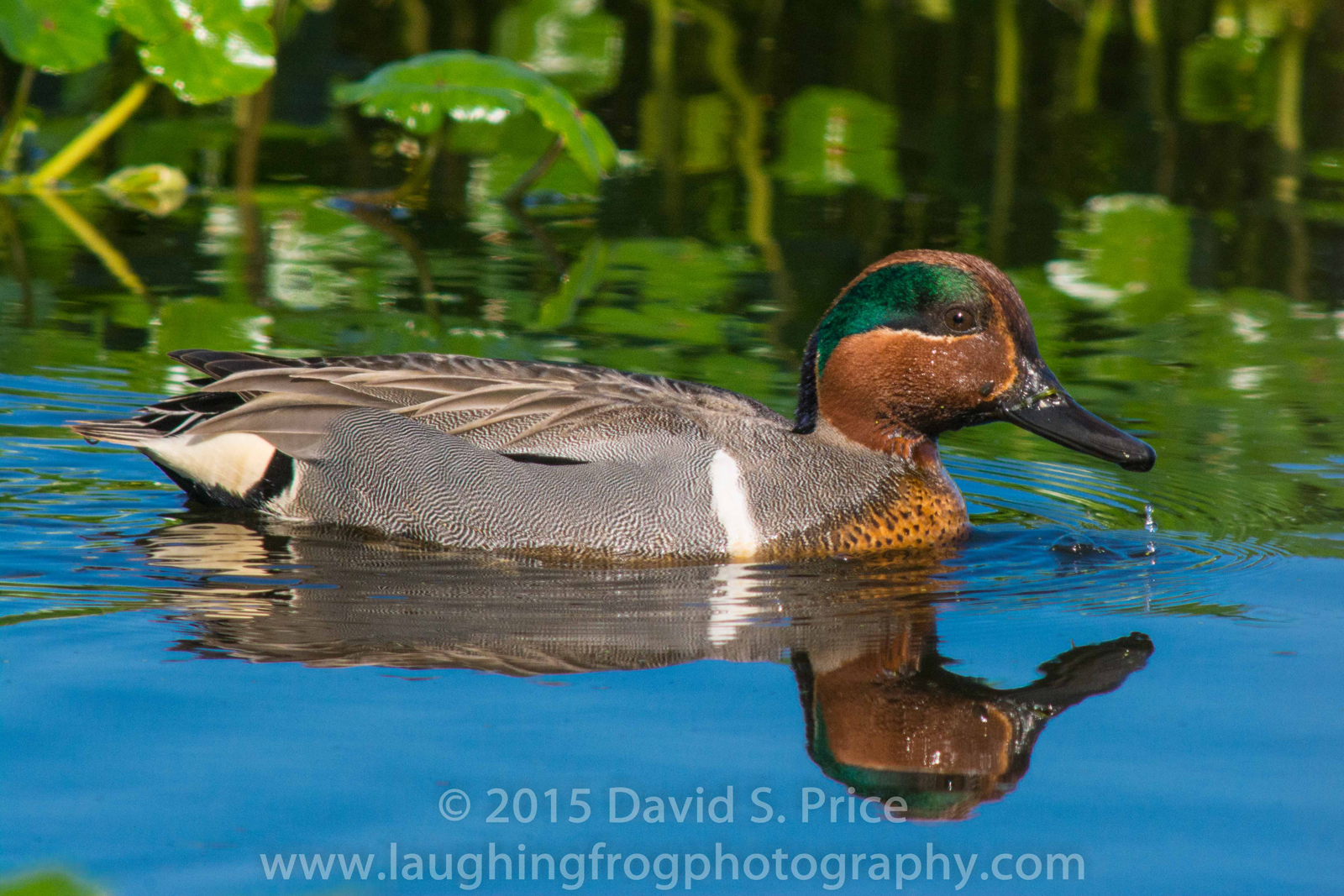 American Green-Winged Teal, Arcata Marsh, 2015 March
