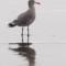 Heerman's Gull, Manila, 2012 September thumbnail