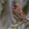House Finch, Arcata Marsh, 2014 December thumbnail