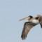 Brown Pelican thumbnail