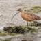 Long-billed Curlew, Arcata Marsh, 2012 August thumbnail