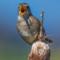 Marsh Wren, Arcata Marsh, 2015 March thumbnail
