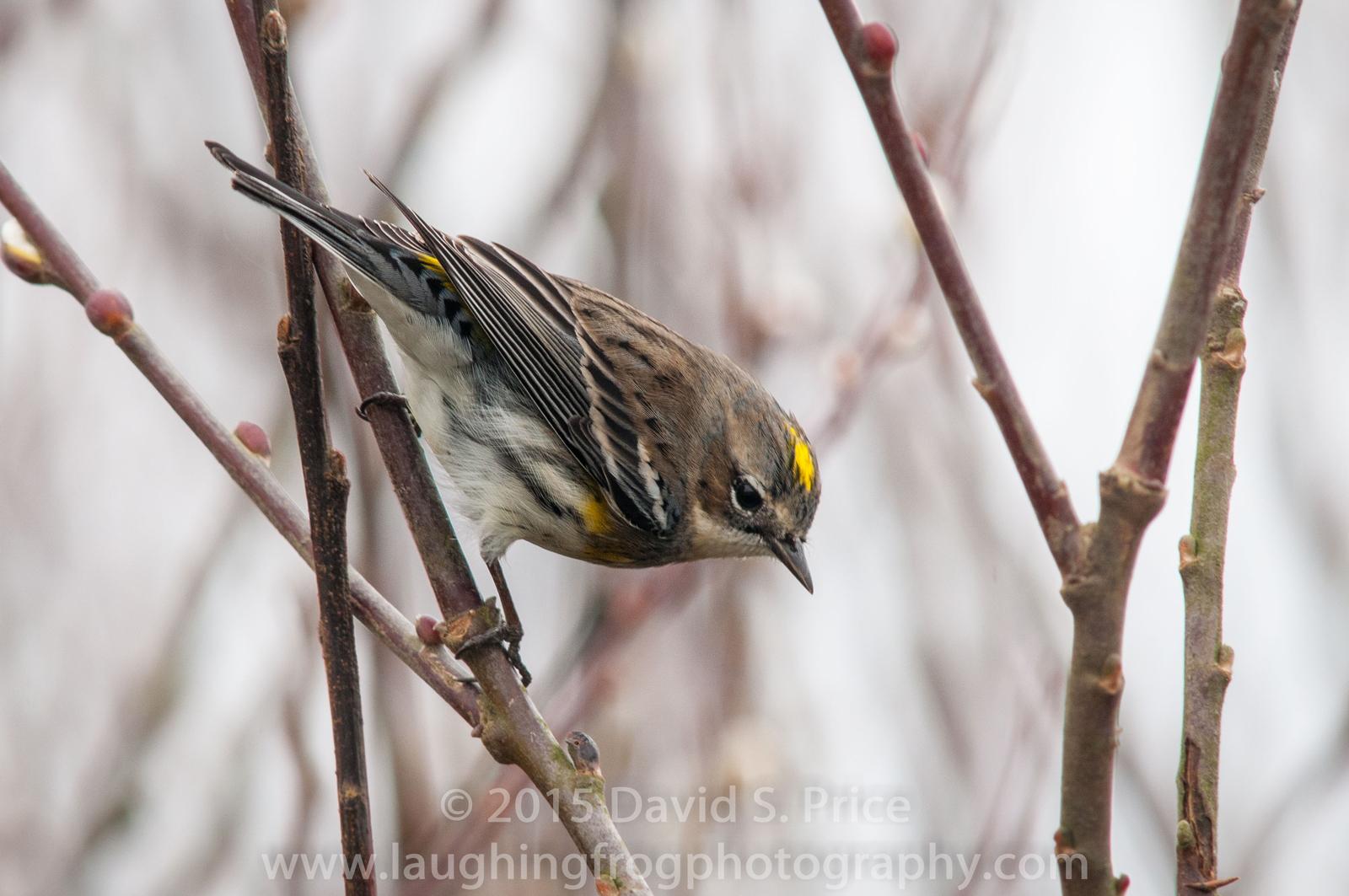 Myrtle Warbler, Humboldt, 2014 February