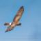 Northern Harrier, Arcata Marsh, 2015 March thumbnail