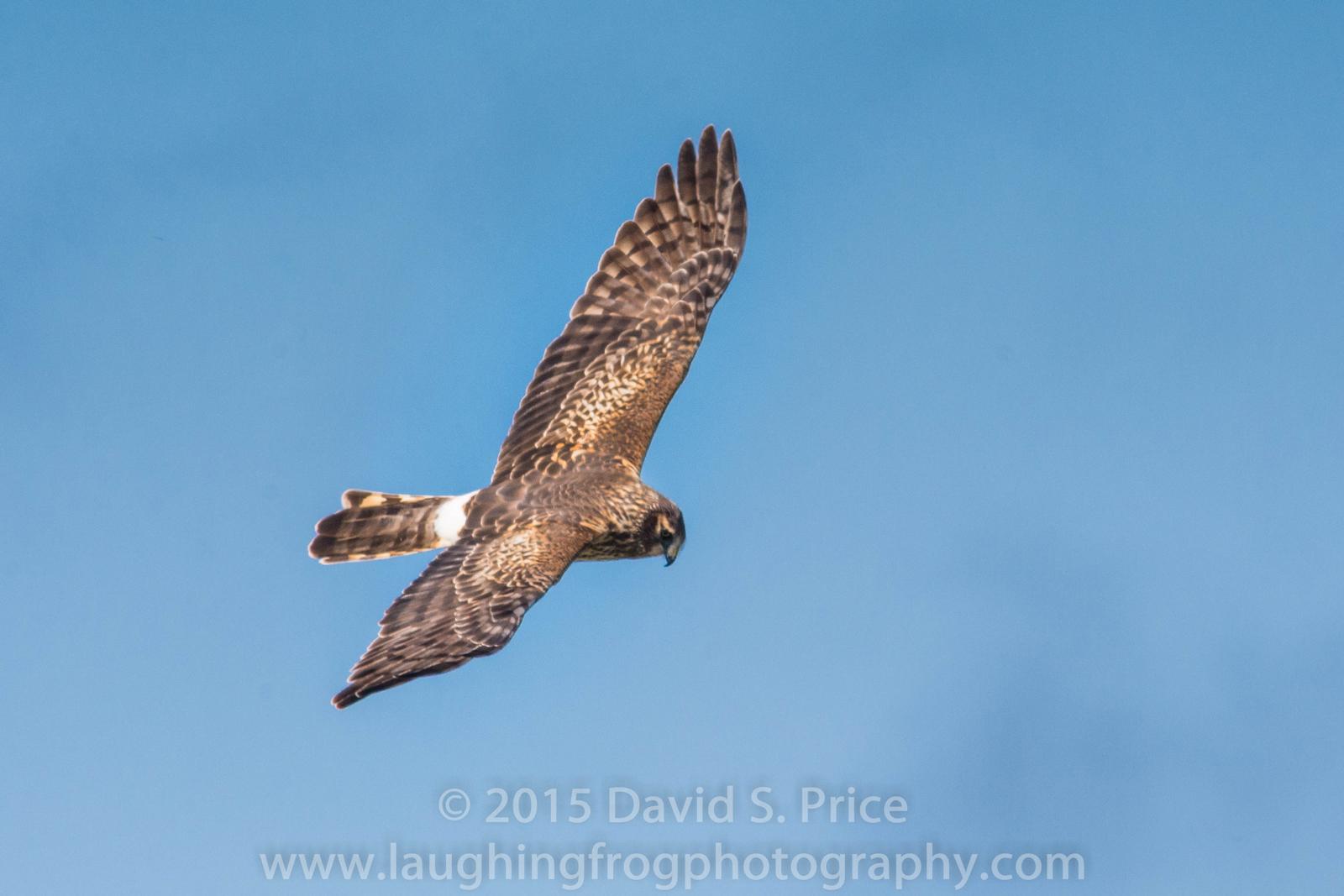 Northern Harrier, Arcata Marsh, 2015 March