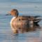 Northern Pintail, Arcata Marsh, 2014 January thumbnail