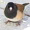 A Dark-eyed (Oregon) Junco thumbnail