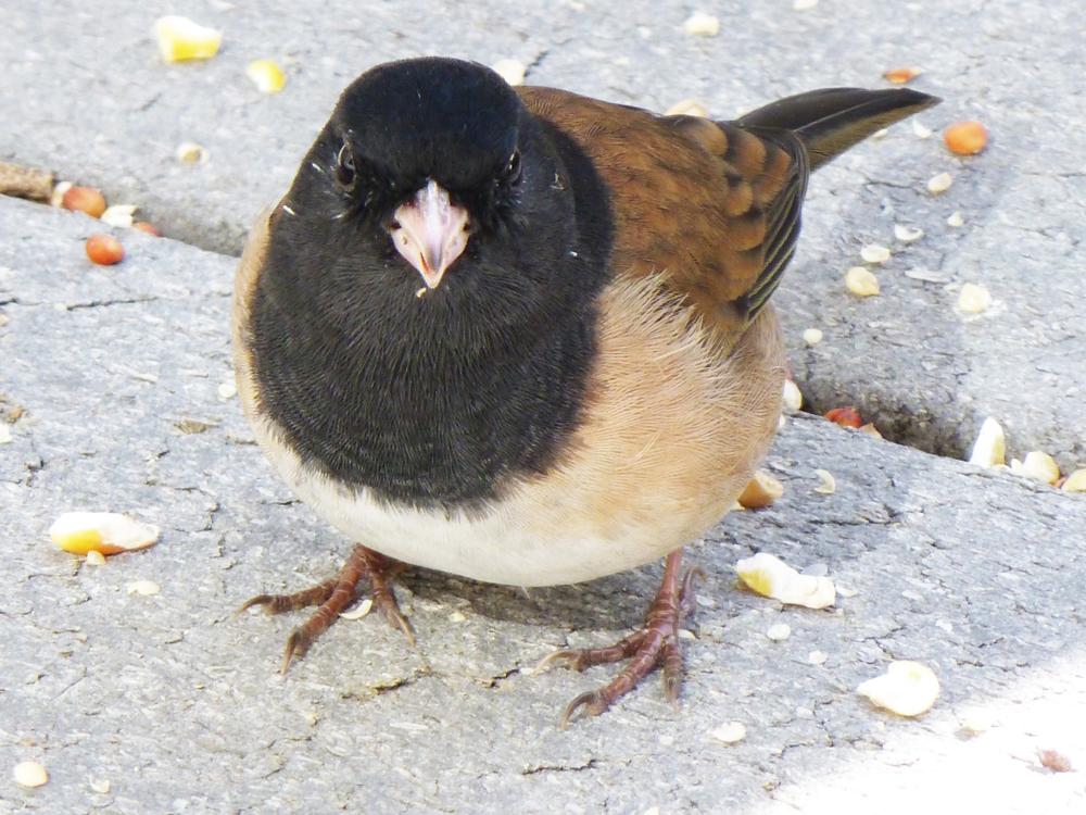 A Dark-eyed (Oregon) Junco