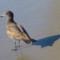 A Juvenile Heermann's Gull on a Monterey Bay beach thumbnail