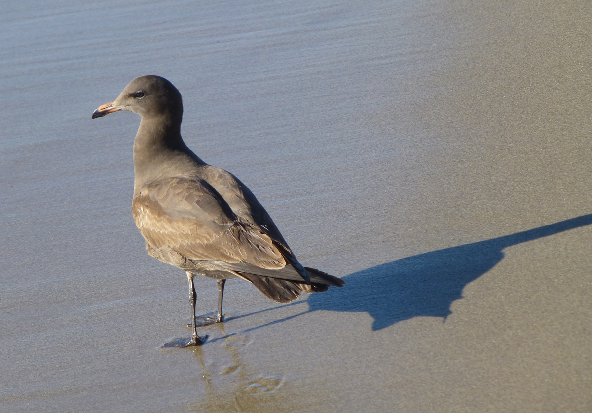 A Juvenile Heermann's Gull on a Monterey Bay beach