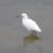 A Snowy Egret near Elkhorn Slough thumbnail