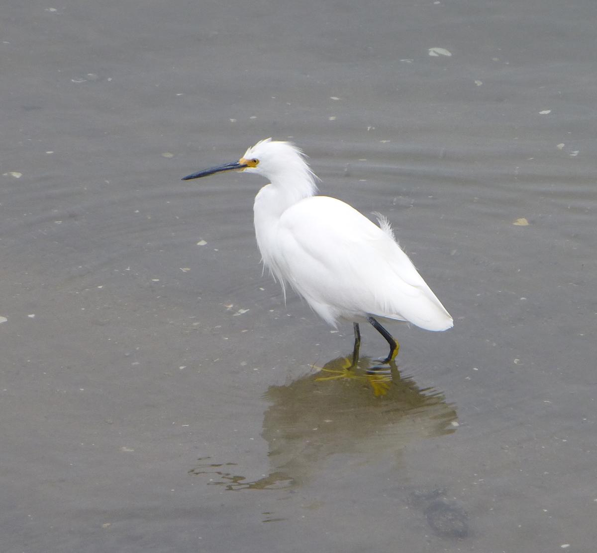 A Snowy Egret near Elkhorn Slough