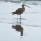 Long-billed Curlew  on a Monterey Bay beach thumbnail