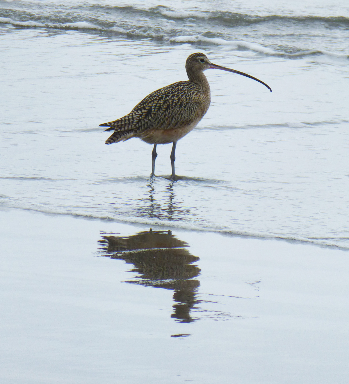 Long-billed Curlew  on a Monterey Bay beach