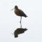 Marbled Godwit on a Monterey Bay beach thumbnail