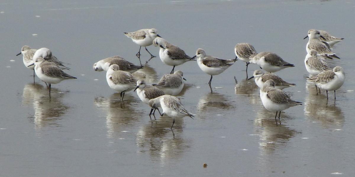 Sanderlings  on a Monterey Bay beach