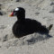 This poor Surf Scoter was not doing so well. thumbnail