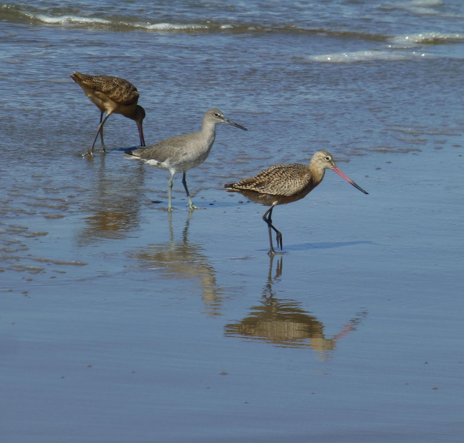 Marbled Godwits with a WIllet