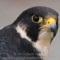 Peregrine Falcon, Humobldt, 2012 April thumbnail