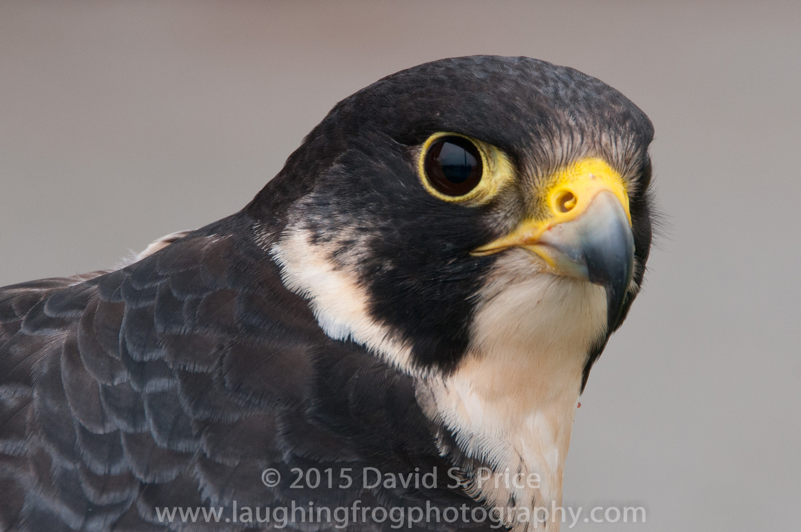 Peregrine Falcon, Humobldt, 2012 April