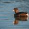 Pied-billed Grebe, Arcata Marsh, 2014 January thumbnail