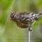 Pine Siskin, Lanphere, 2012 June thumbnail
